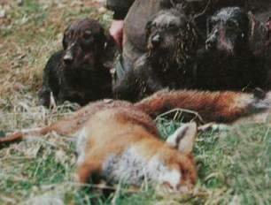 terriers-kill-fox-229933