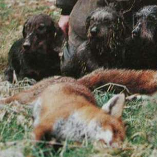 terriers-kill-fox-229933