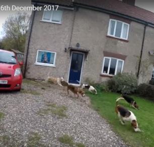 waveney-harriers-hounds-in-garden-6-12-17