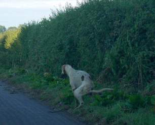 hound-pooing-44423