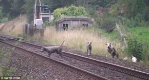 hounds-on-railway-33366