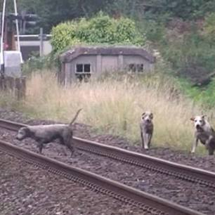 hounds-on-railway-33366