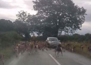 hounds-on-road-88855