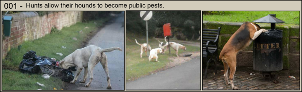 Hunts allow their hounds to become pests 001