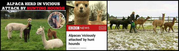 Hounds attacking Alpaca - Triple