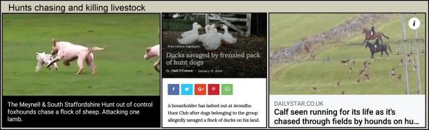 Hounds chasing livestock 001
