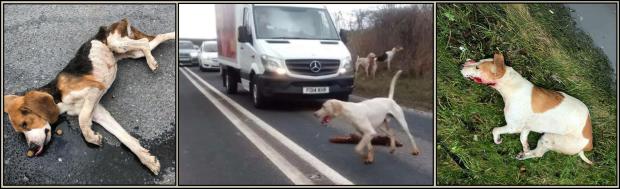 Hounds killed on roads 77382B