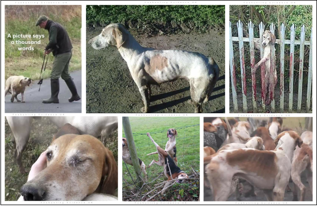 Hunt hounds suffer tooB