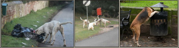 Hunts allow their hounds to become pests 001b