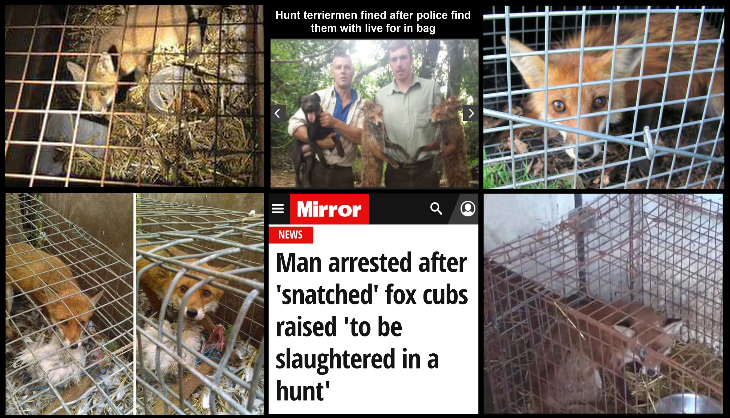 Foxes reared in cages
